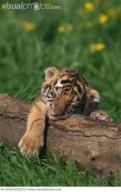 napping bengal