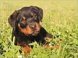 rotty puppy