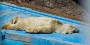 over heated bear