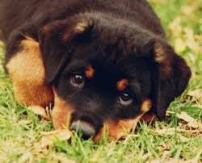cute rottie puppy
