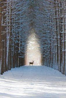 lone deer walk
