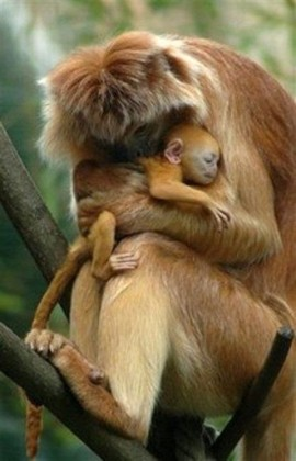Baboons — a mothers love ~ still legally hunted!!